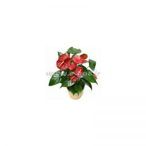 گلدان آنتوریوم