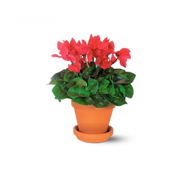 گلدان سیکلمن