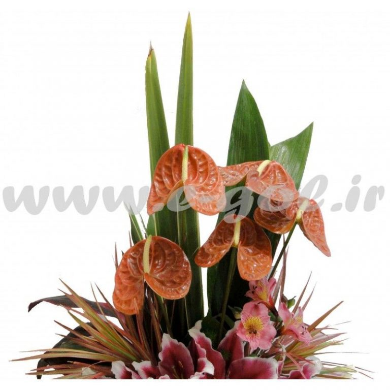 گل ژینوس