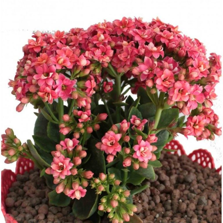 گلدان کالانکوا