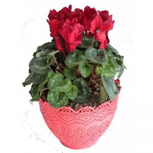 گلدان سیکلمه