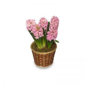 گل سنبل صورتی