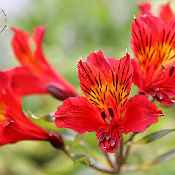 گل السترمریا